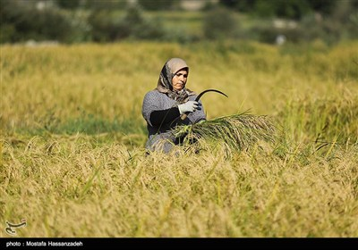 برداشت برنج در گلستان