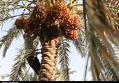 جشن شکرانه تولید خرما در استان بوشهر برگزار میشود