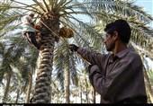 خوزستان| جشنواره استانی خرما در شهرستان کارون برگزار میشود + برنامهها