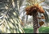 خوزستان| برداشت خرما در روستای ابودبس شهرستان کارون