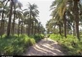 کرمانشاه| پیشبینی تولید 3900 تن خرما در نخلستانهای قصرشیرین