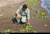 طرح مبارزه با گونههای مهاجم گیاهی در گیلان اجرایی شد
