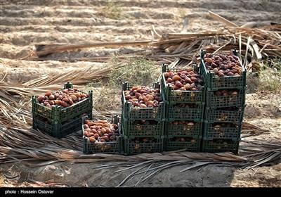 برداشت رطب از نخلستانهای روستای نظرآقا - بوشهر