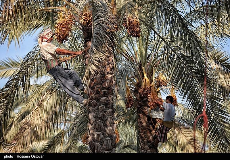 خوزستان| 80 درصد نخیلات بهبهان بدلیل کمبود آب نابود شدند