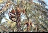 26 میلیارد تومان تسهیلات برای اجرای طرحها بخش کشاورزی استان بوشهر پرداخت شد