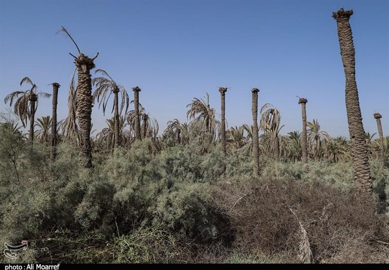 خوزستان  نوشدارویی پس از مرگ؛ گزارش تصویری تسنیم از نخیلات خشک شده شهر خنافره