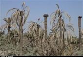 مرگ خاموش نخیلات خوزستان؛ آبرسانی به نخلستانهای شادگان تا فردایی نامعلوم