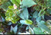 اجرای طرح توسعه گیاهان دارویی در 2 هزار هکتار از مراتع کهگیلویه و بویراحمد+فیلم