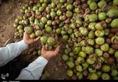 آغاز فصل برداشت گردوی آذربایجانغربی؛ باغداران در انتظار تسهیل صادرات گردو هستند