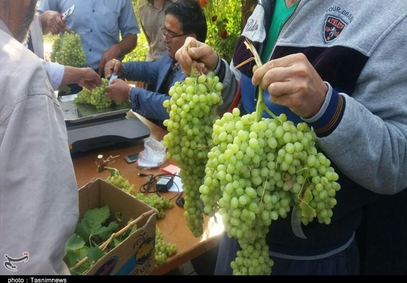 جشنواره انگور استان مرکزی در خنداب به روایت تصویر