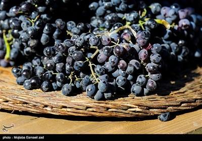 دومین جشنواره ملی انگور سیاه سردشت