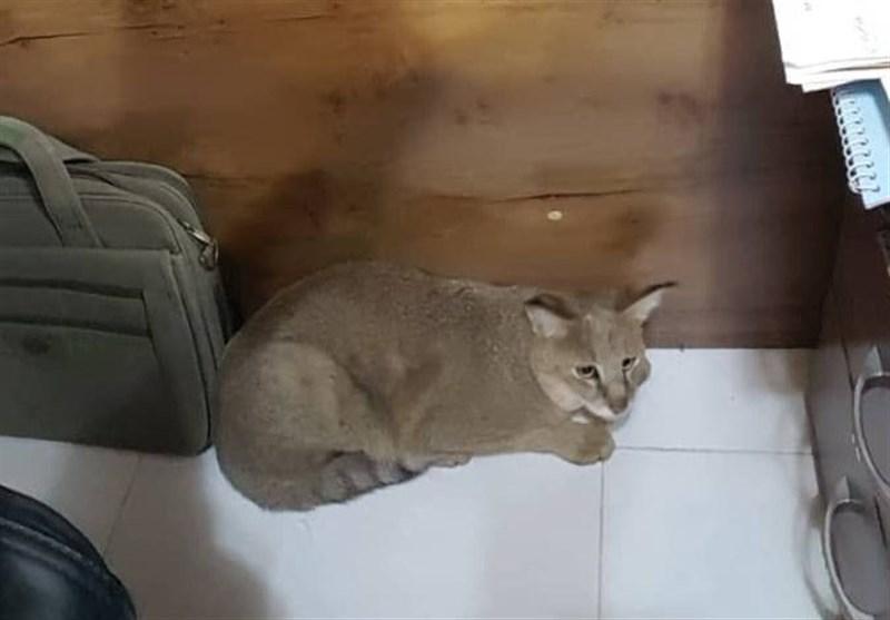گربه جنگلی پس از 6 ماه نگهداری در طبیعت شوشتر رهاسازی شد