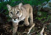 ماموران حیات وحش اورگن یک شیر کوهی را کشتند