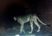 مشاهده 2 یوزپلنگ در بهاباد یزد
