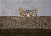 یک گربه، متهم قطع برق ایالت نیواورلئان