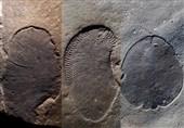 قدیمیترین جانور شناساییشده جهان برای 558 میلیون سال پیش است