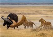 تلاش ناموفق شیرهای تانزانیا برای شکار بوفالو + تصاویر