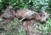 خرس ارسبان هم قربانی تله سیمی شد