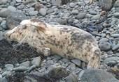 تصاویری از فک گرفتار در تور ماهیگیری در سواحل ولز