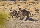 اختصاصی|محیطبان مهدیشهری از 3 پلنگ ایرانی در پارک ملی صیدوا فیلم گرفت+فیلم