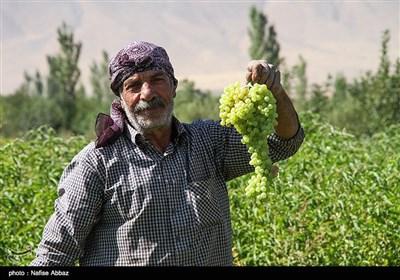 برداشت انگور از باغات شهرستان خنداب