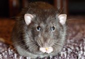 First Ever Case of Rat Disease Found in Human