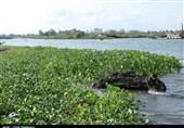 تالاب انزلی از گیاه مهاجم سنبل آبی پاکسازی میشود