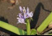 آسیب «سنبل آبی» به اقتصاد گردشگری گیلان؛ 6000 هکتار از منابع آبی استان درگیر این «گیاه مهاجم» است