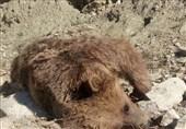 شکارچیان متخلف خرس در ارومیه تاکنون دستگیر نشدهاند
