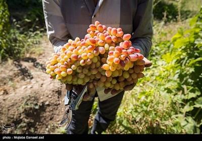 برداشت انگور از باغ های ارومیه