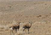 حیات وحش مناطق حفاظت شده کهگیلویه و بویراحمد سرشماری میشوند