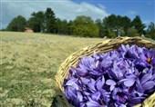 15 درصد زعفران کشور در خراسان جنوبی تولید میشود