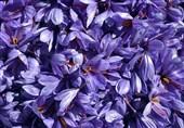3800 هکتار از مزارع لرستان به کشت زعفران اختصاص مییابد