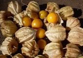 گیلاس زمینی در شرف احاطه بازار جهانی میوه