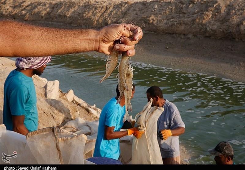 راهاندازی نخستین مرکز تکثیر بچه میگو در گلستان؛ 4000 تن میگو در استان تولید میشود