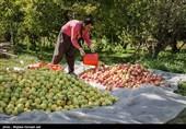 گلستان| بزرگترین باغ یکپارچه موقوفه کشور در آزادشهر به باردهی رسید