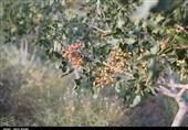 33 درصد اشتغال استان کرمان در بخش کشاورزی است