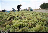 همدان| «گردشگری و اقتصاد» در ملایر با ثبت جهانی انگور رونق پیدا میکند