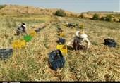 برداشت پیاز از مزارع زنجان به روایت تصویر