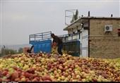 زیرساختهای جمع آوری سیب صنعتی در ارومیه فراهم نیست+ تصاویر