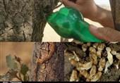 لرستان|تراژدی بیپایان مرگ بلوطستان؛ هجوم میلیونها موریانه به جنگلهای زاگرس+فیلم و عکس