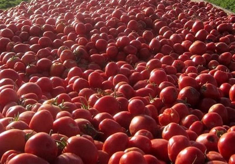 بوشهر| صادرات گوجه فرنگی آغاز شد
