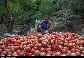 کردستان برداشت یاقوت سرخ در اورامان به روایت تصویر