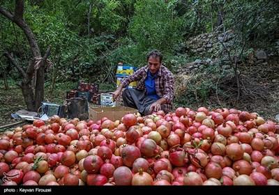 برداشت یاقوت سرخ در هورامان - کردستان