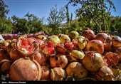 Pomegranate Festival Held in Iranian Northern Village