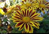 سمنان| جشنواره «مهرگان گلهای داودی» در مهدیشهر در قاب تصویر