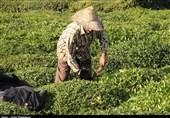 25 درصد چای مصرفی کشور تولید داخل است