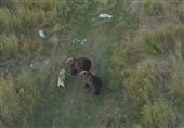 Drone Footage Captures Friendship between Dog, Family of Bears in Russia (+Video)