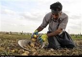سیبزمینی تولیدی کرمانشاه ارگانیک یا سرطانزا؟/ وضعیت بازار سیب زمینی به سود دلالها شد