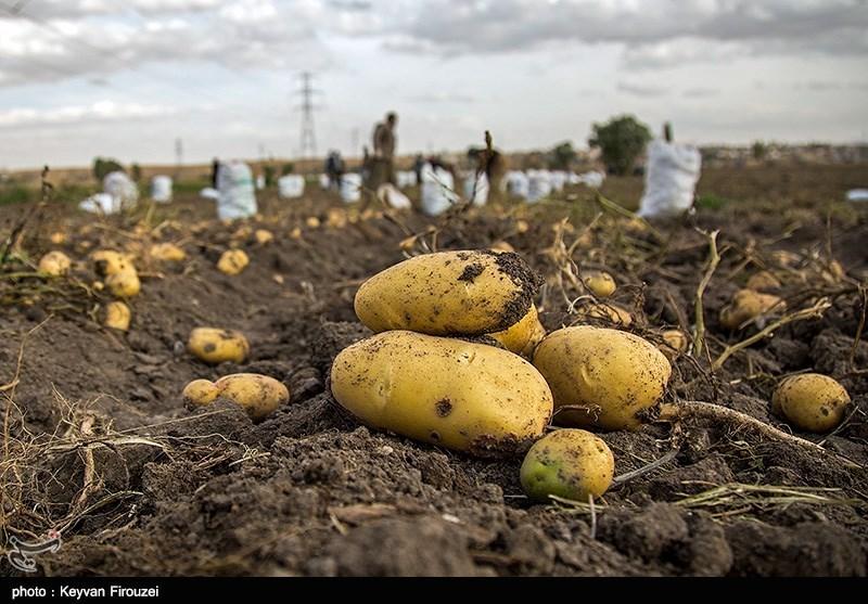 دسترنج بیحاصل سیبزمینیکاران در کردستان؛ «بود و نبود» جهاد کشاورزی تفاوتی ندارد
